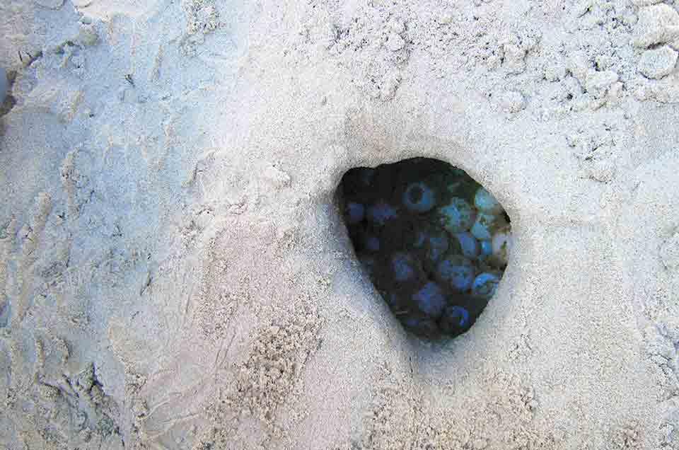 Green Sea Turtles eggs