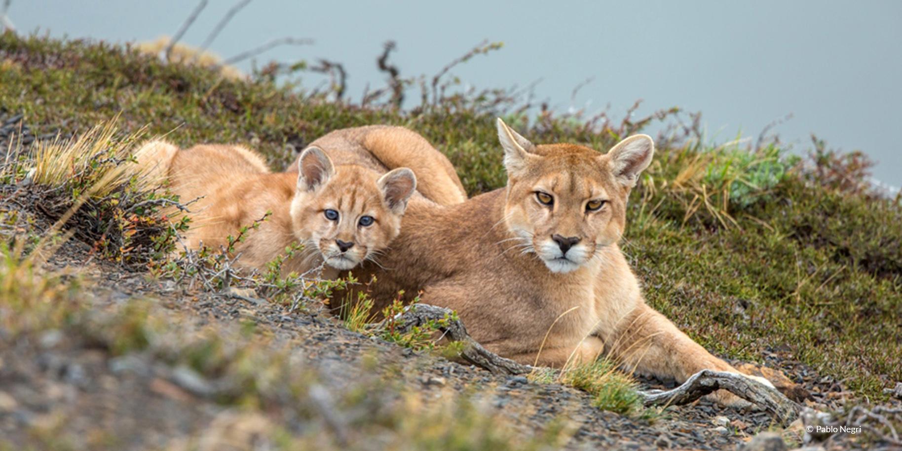 Patagonia Puma & baby