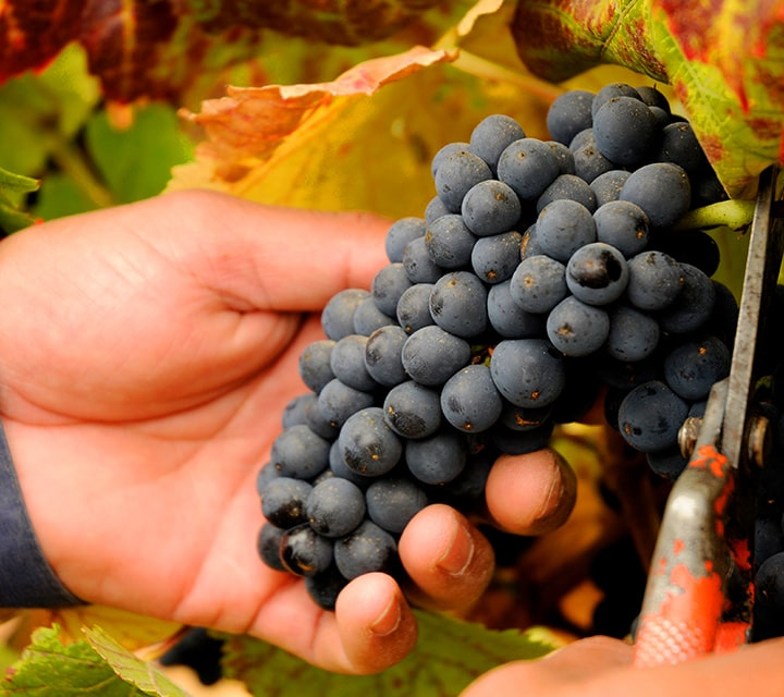 Wine in Chile and the Carménère Grape