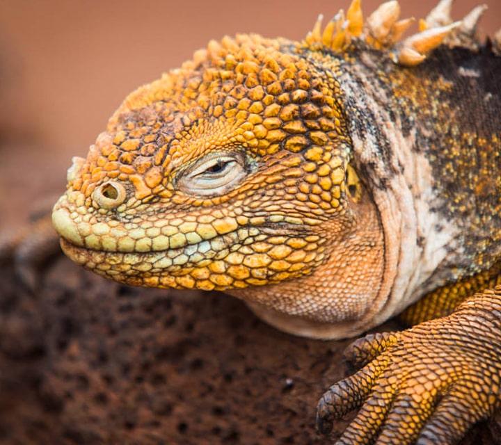 Land Iguana of the Galapagos