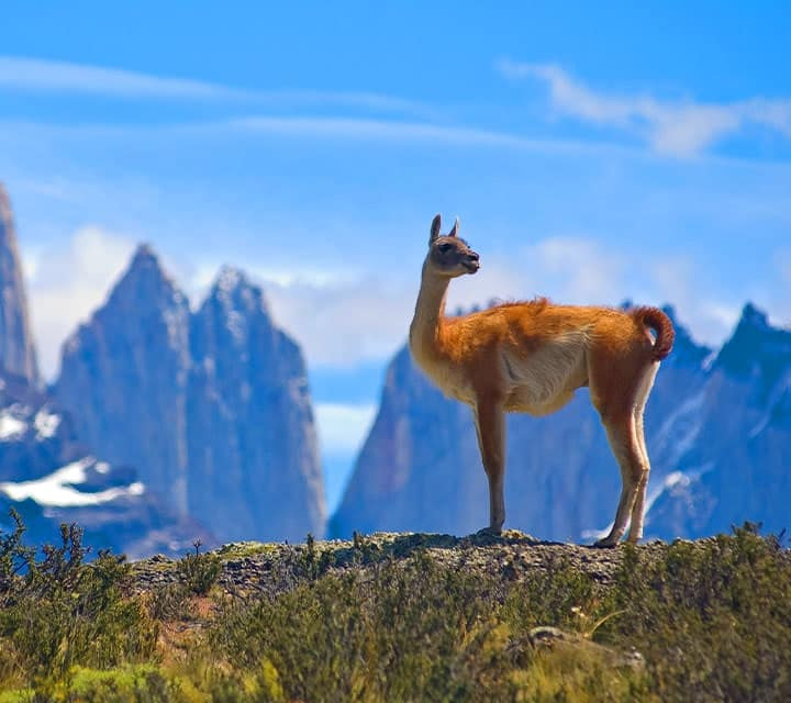 Guanaco standing atop a hill in Torres del Paine National Park