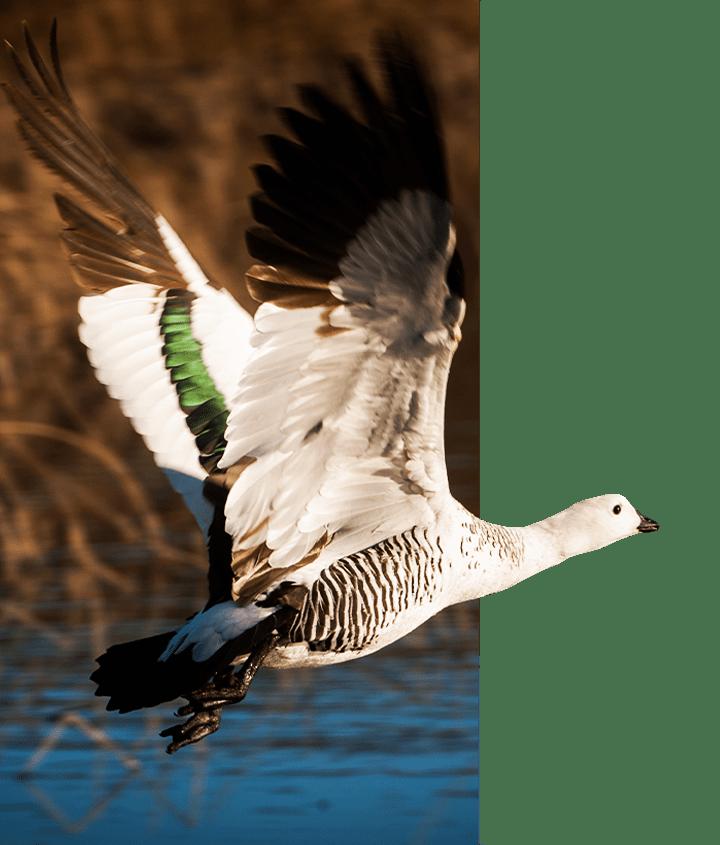 Patagonian Bird