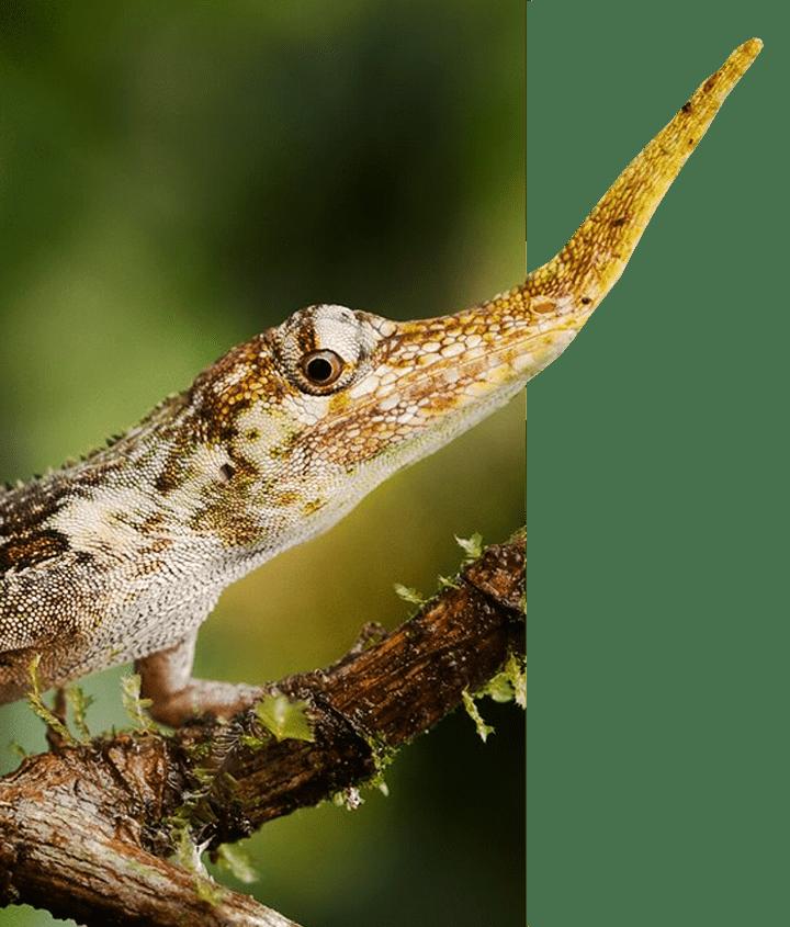 Ecuador's Pinocchio Anole Lizard