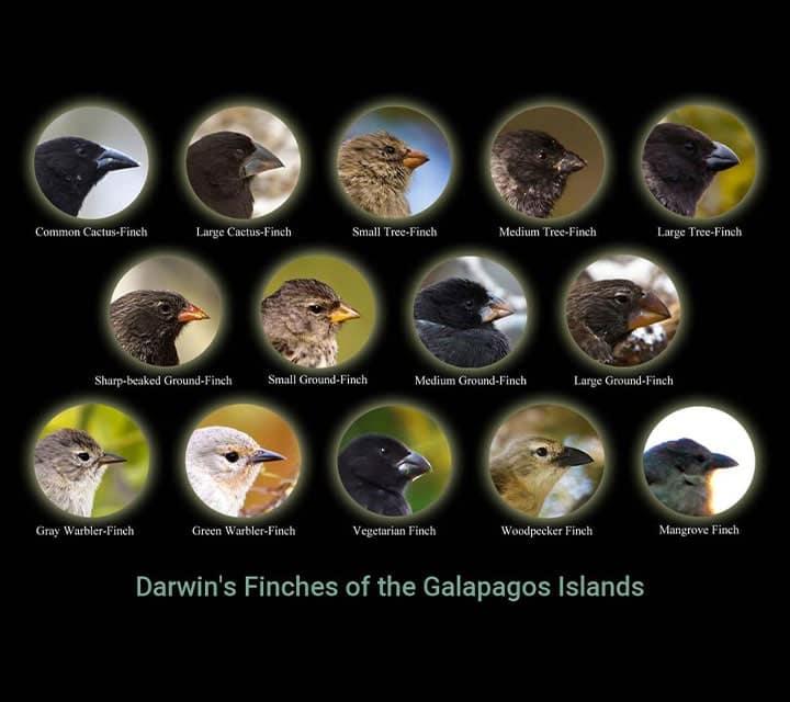 Darwin Finches in Galapagos