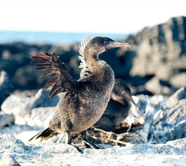 Galapagos Flightless Cormorants by nest