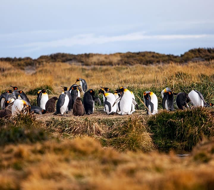 Group of penguins in Patagonia