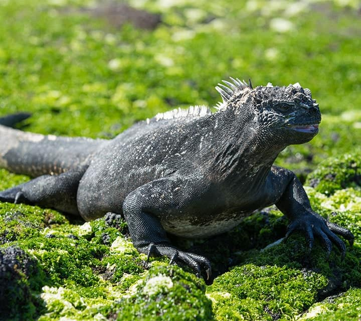 Galapagos Marine Iguana walking on algae covered rocky landscape in the Galapagos