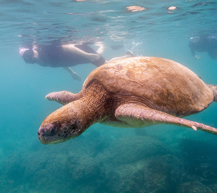 Snorkeling in the Galapagos with green sea turtle