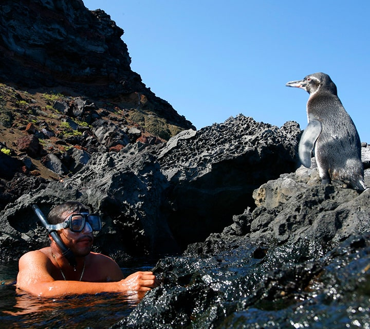 Snorkeler with mask observes Penguins on the rocky shore Tagus Cove in the Galapagos