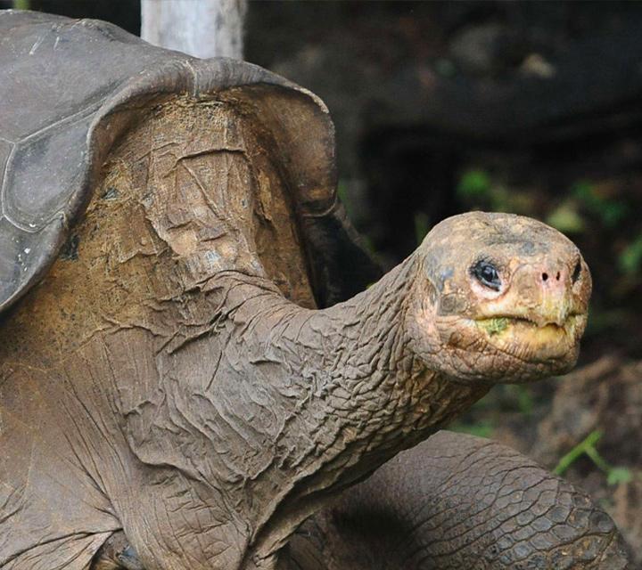 Finding the Pinta tortoise species