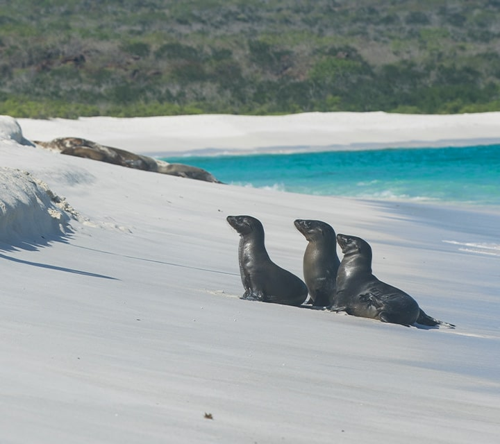 Sea lions on a beach during peak season in the Galapagos Islands