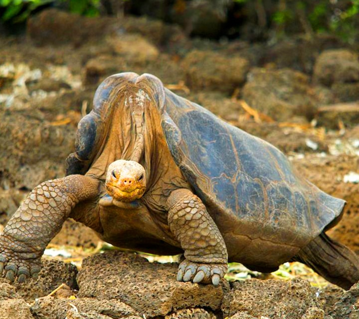Galapagos Giant Tortoise face off