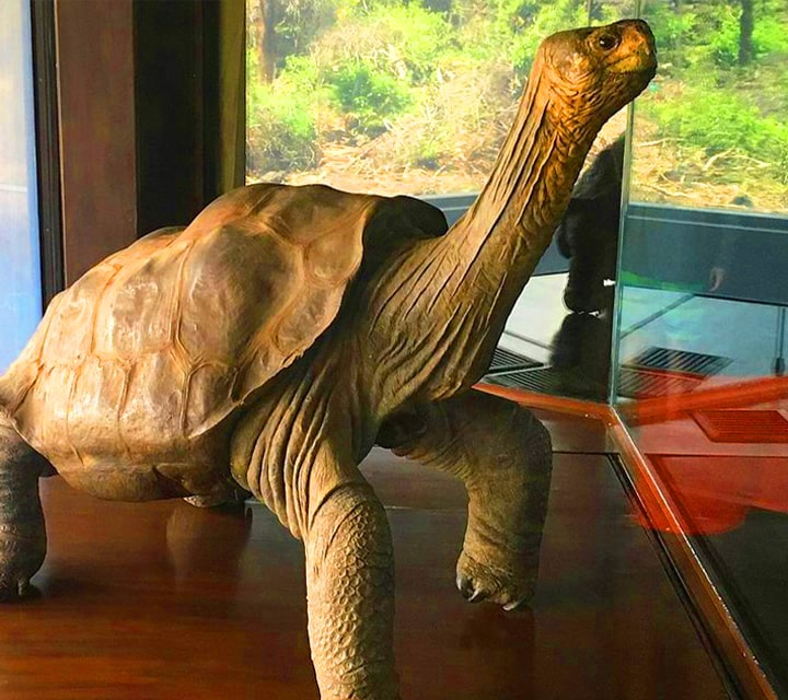 Statue of Lonesome George, famous Galapagos Tortoise
