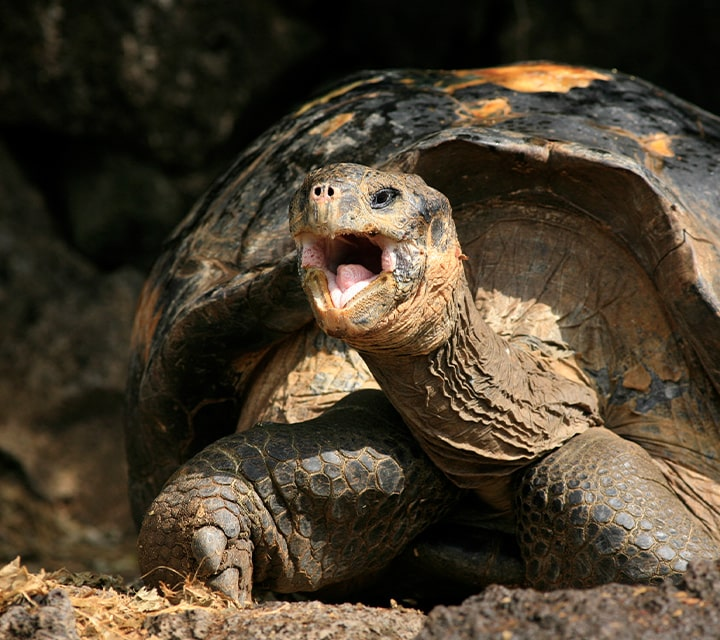 The Giant Tortoise, Diego, who singlehandlely saved his species