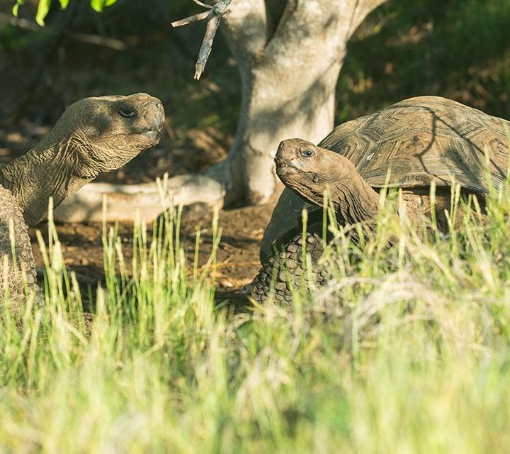 Female tortoise in Diego's pen
