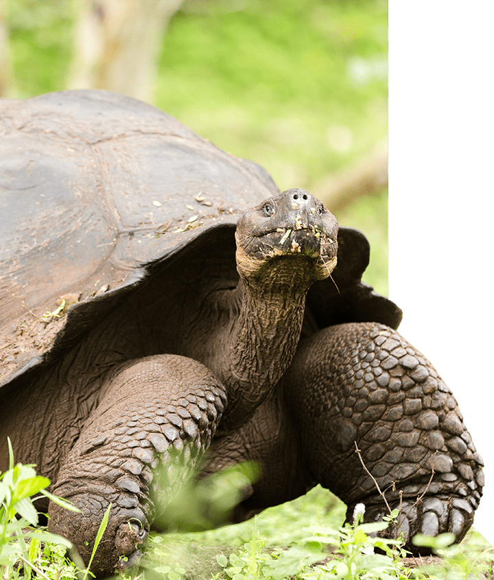 Giant Tortoise eating grass in the Galapagos Islands