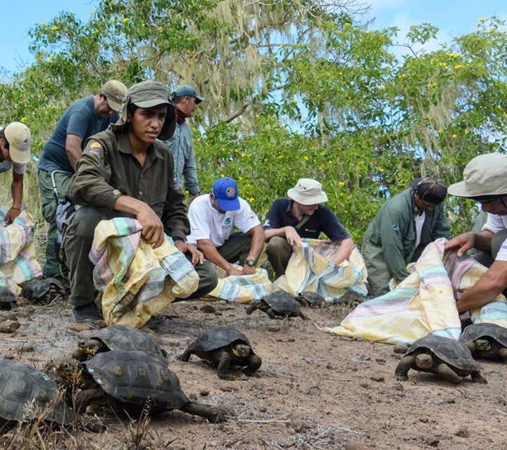 Conservationists protect the Giant Tortoises in the Galapagos Islands