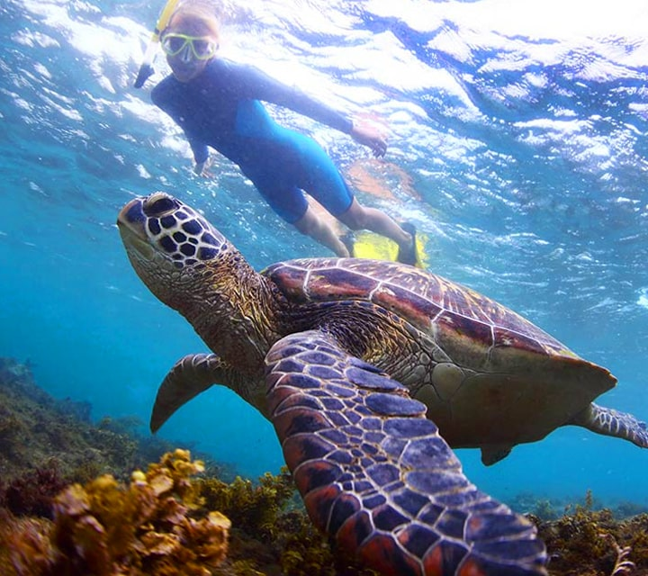 Snorkler looking at a Grean Sea Turtle near corals in the waters of the Galapagos Islands
