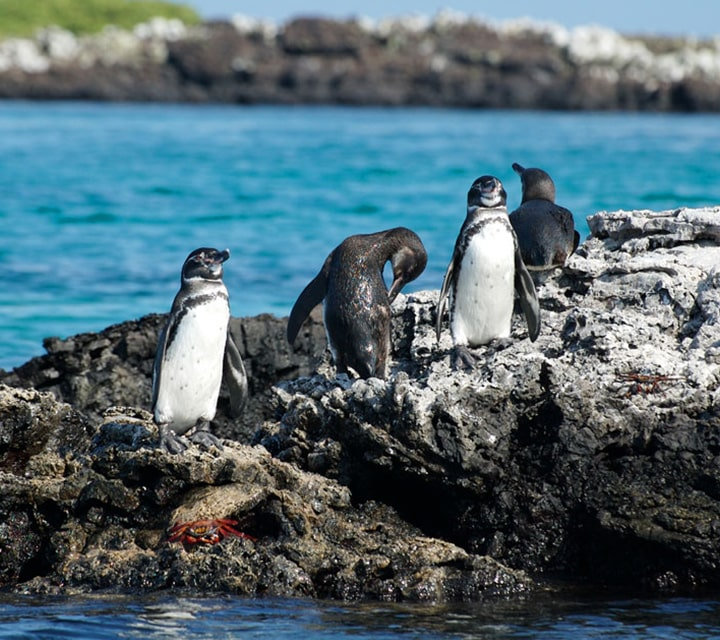 Penguins sunbathing on the rocky shores of the Galapagos Islands