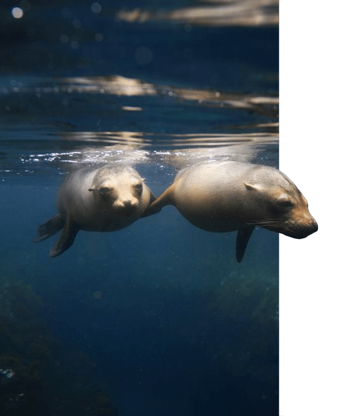 A pair of sea lions swimming in the waters of the Galapagos Islands