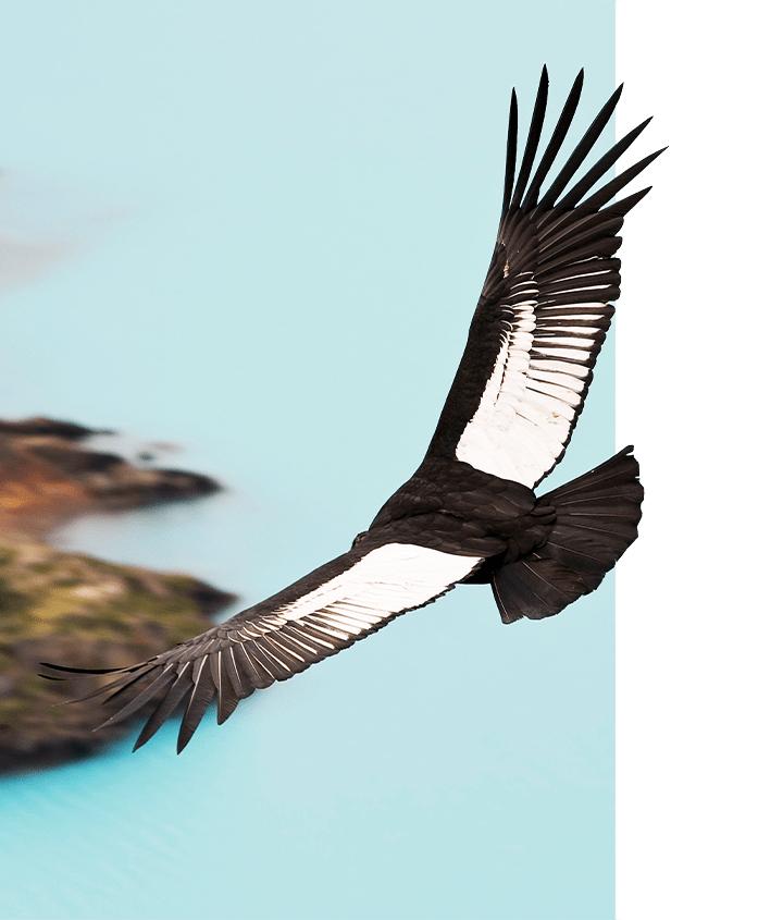 Flying Andean Condor in Patagonia