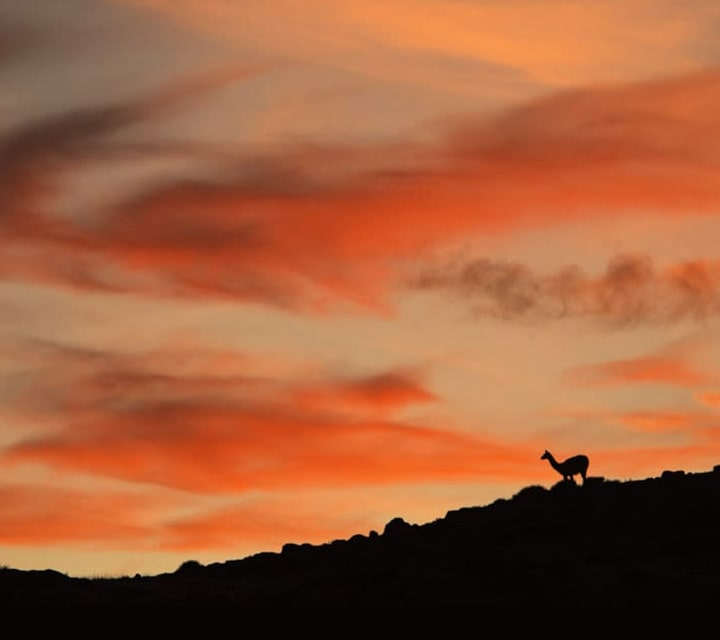 Guanaco silhouette at sunset in Patagonia