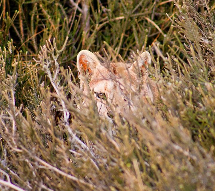 Puma hiding in shrubs in Patagonia
