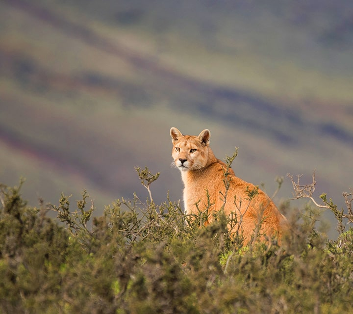 Puma spotted on the western shores of Sarmiento Lake, Patagonia