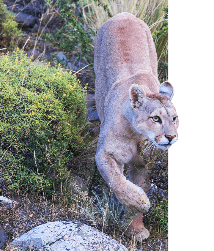 Puma walking in the wilds of Patagonia