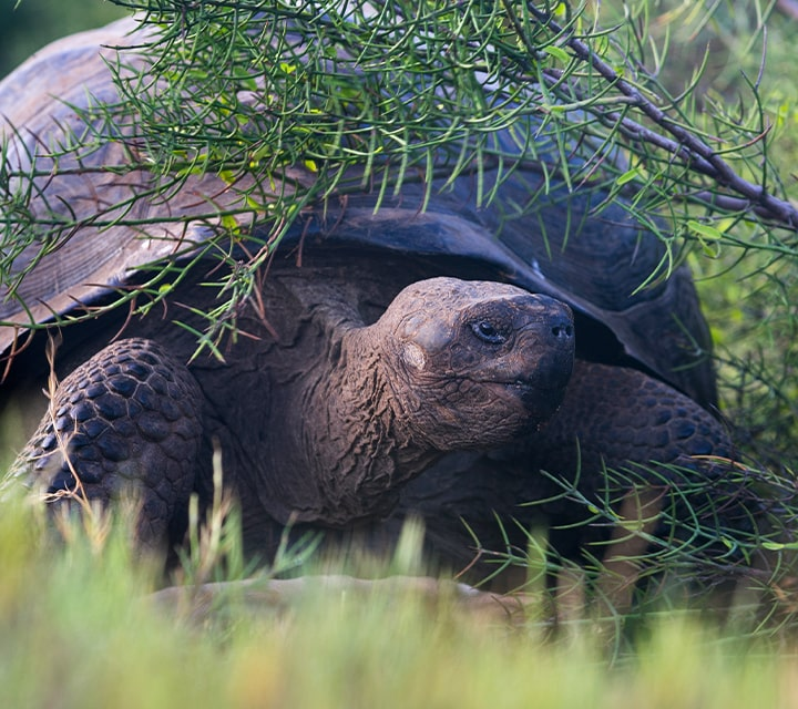 Giant Tortoises in the Galapagos Islands