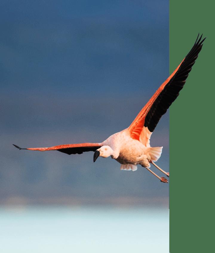 Pink Flamingo flying over lake