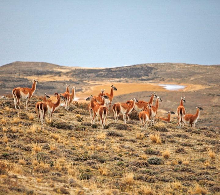 Herd of Guanacos in Patagonia
