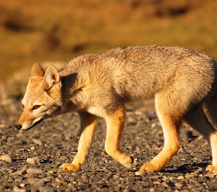Patagonian fox glowing in the golden hour at Patagonia National Park