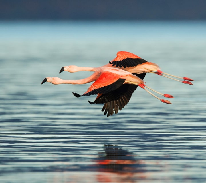 Chilean Flamingoes flying right above the water in Patagonia