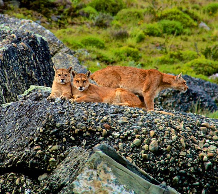 Puma pack on boulders in Chilean Patagonia