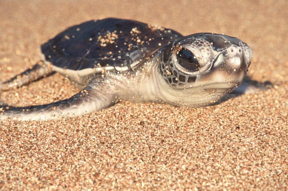 Green Sea Turtles hatching
