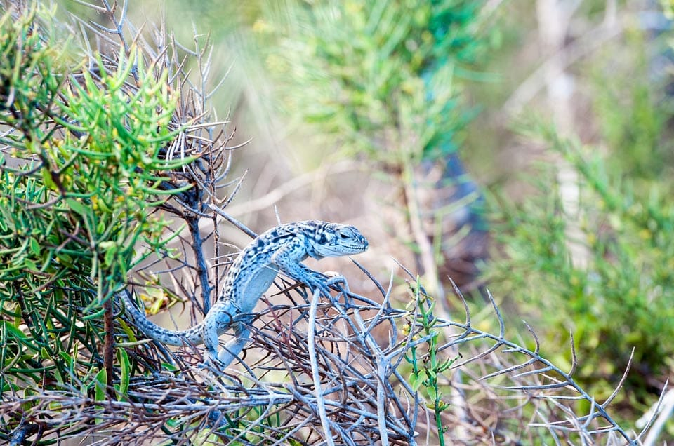 Eggs of Land Iguanas begin to hatch