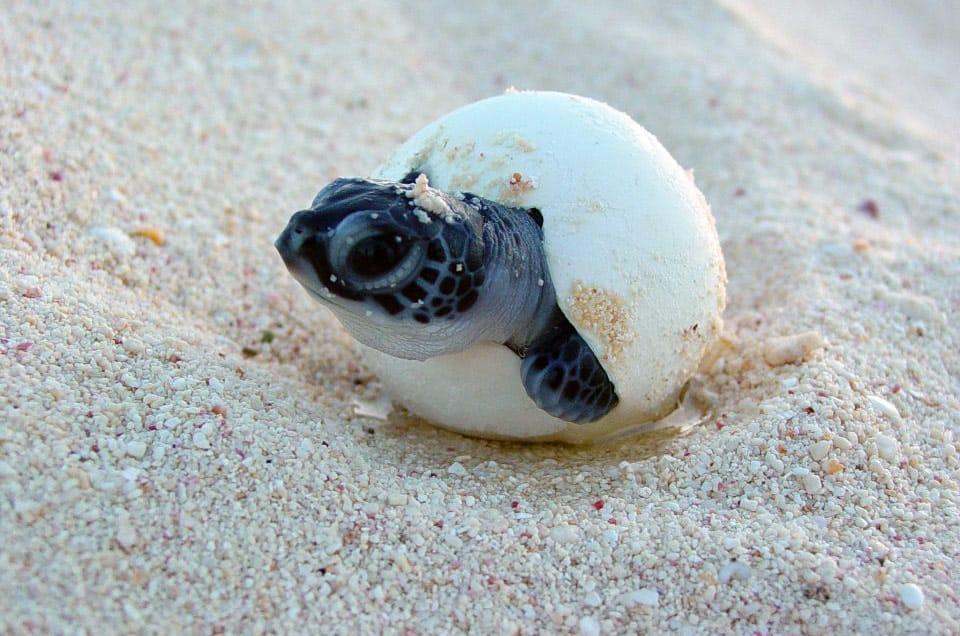 Galapagos Giant Tortoise Egg Hatching
