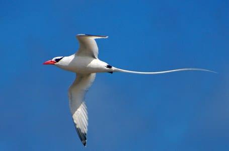 Galapagos Red Billed Tropicbird