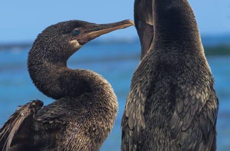 Flightless Cormorants Courtship