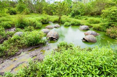 Giant Tortoises Nesting