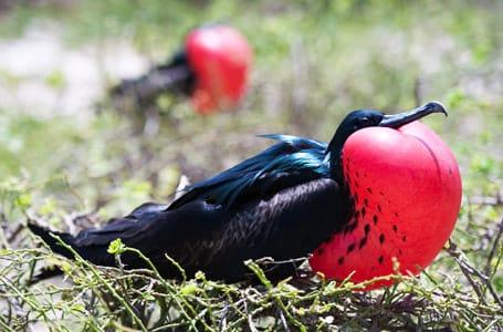 Galapagos Magnificent Frigate birds