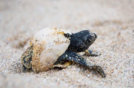 Galapagos Sea Turtles hatching