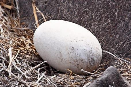 Waved Albatross Egg