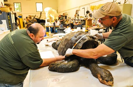 Two scientists measuring a turtle shell