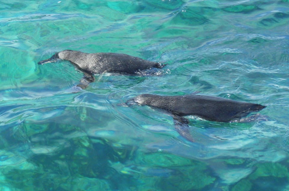 Galapagos Penguins in the Water