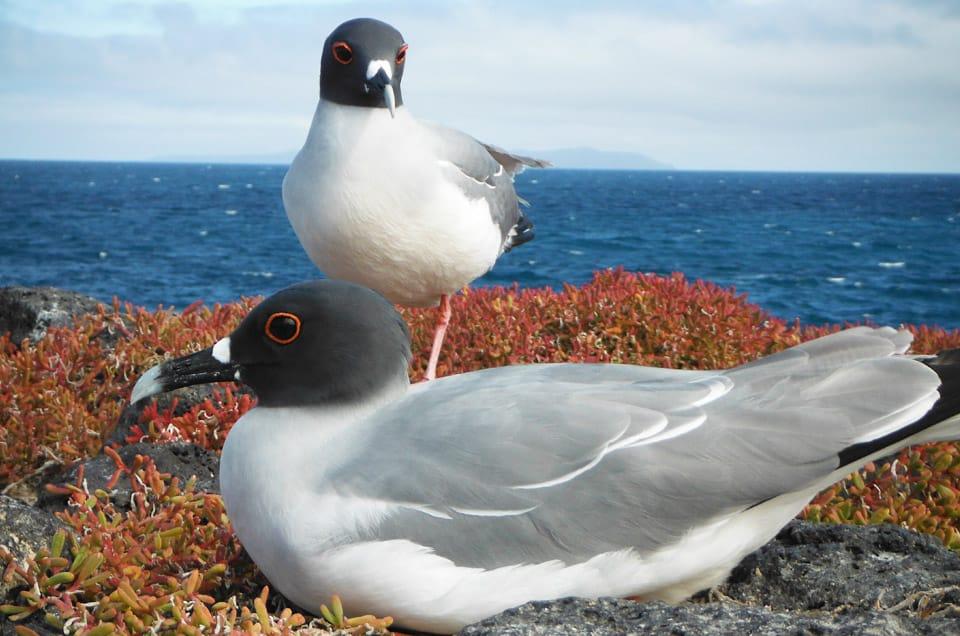 Galapagos Swallow-Tailed Gull Chicks
