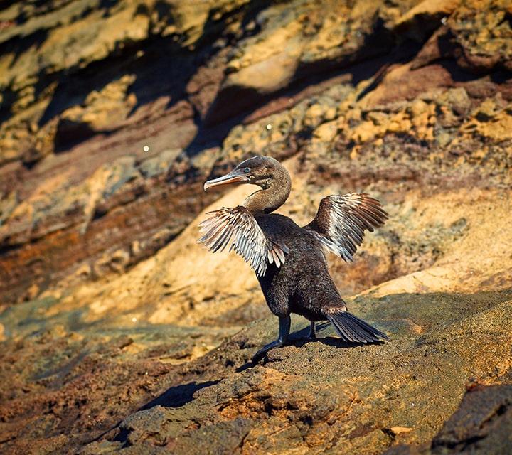 Short winged Flightless Cormorant waddling on the shoreline of the Galapagos Islands