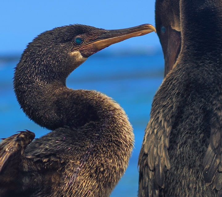 The Flightless Cormorant, native to the Galapagos Islands, confined to land and sea