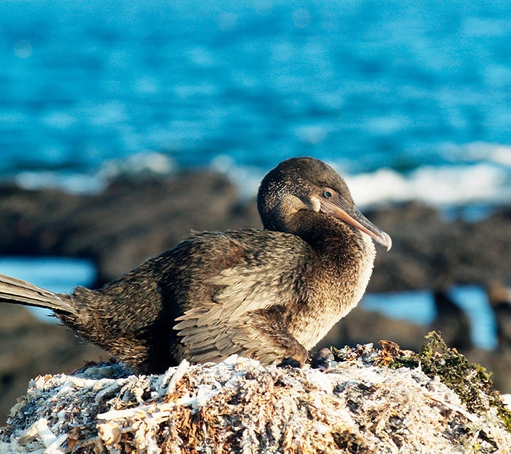 Protected sea bird and endemic to the Galapagos, Flightless Cormorant lives to be an unsual fauna and icon